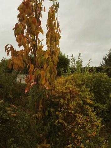 Looking good in the autumn sun, Prunus 'Amanogawa' The Flagpole Cherry