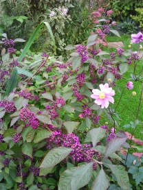 A firm favourite, Callicarpa which is establishing very well at Rosemary Cottage