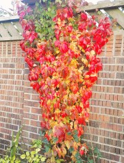 Virginia Creeper showing amazing autumn colour