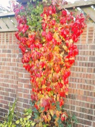 Virginia Creeper showing amazing autumn colour