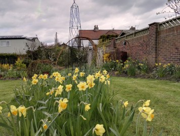 A host of golden daffodils