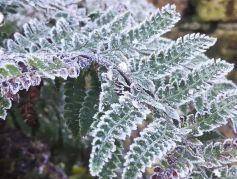frosty-fern