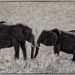 African elephants meet in the wild