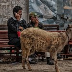 Tibetans use cell phones with goat standing nearby