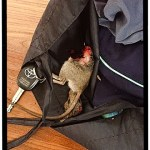 rat placed in woman's purse by her cat