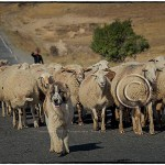 Armenian Wolfhound guards flock of sheep