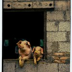 Rural China:Two pigs lean out of a window