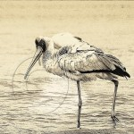 An Ethiopian water bird tip-toes in Lake Chamo