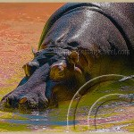 a hippopotamus swims in rainbow colored water at LA zoo