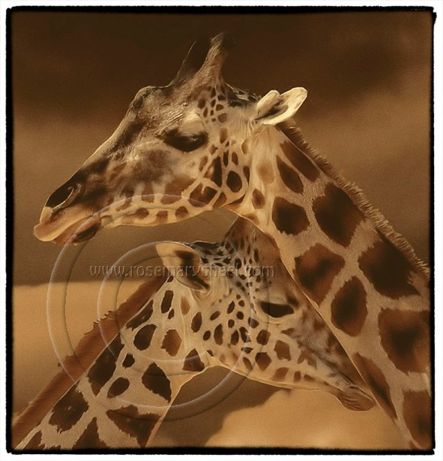 two giraffe heads with a blended background
