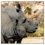rhino baby and mother rhino
