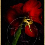 Amaryllis flower in bloom reverse