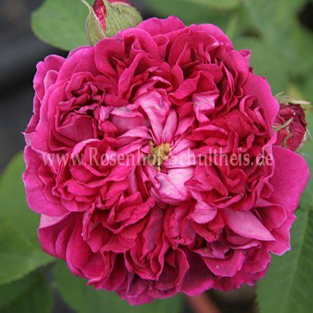 rose du roi a fleurs pourpres rosen