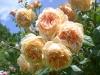 Crown Princess Margareta® (Auswinter)®