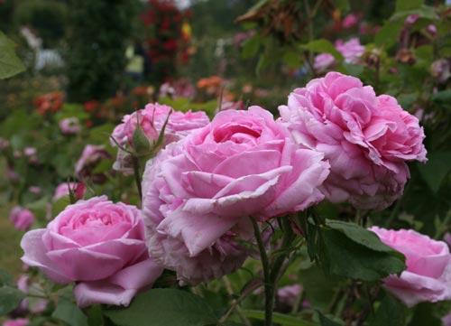 rosen c die zauberhafte welt der rosen. Black Bedroom Furniture Sets. Home Design Ideas