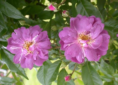 Rosen b die zauberhafte welt der rosen - Synonym am besten ...