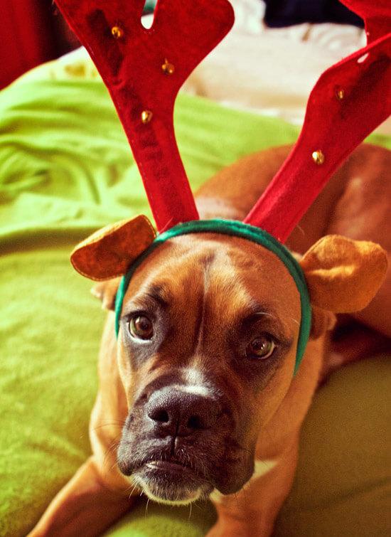 Foto de mi perra con la típica cornamenta de reno de Navidad