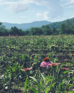 an echinacea flower taking bloom in a field at Gaia Herbs