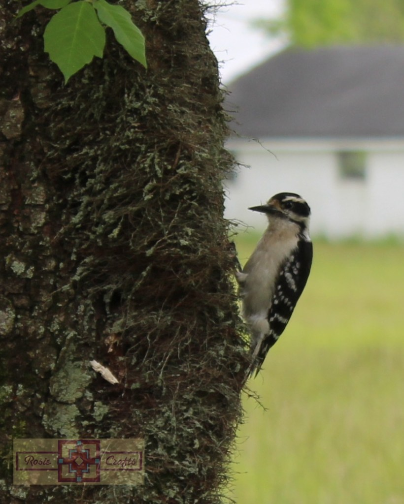 Rosie Crafts Female Downy Woodpecker Photography