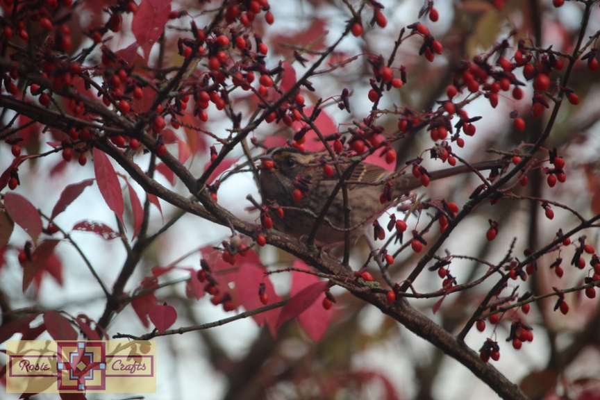 Rosie Crafts White Throated Sparrow in Berry Bush Photography