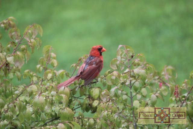 Rosie Crafts Male Cardinal In Bush Photography