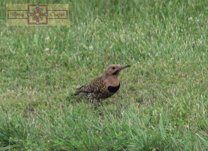 Rosie Crafts Male Northern Flicker Woodpecker Photography