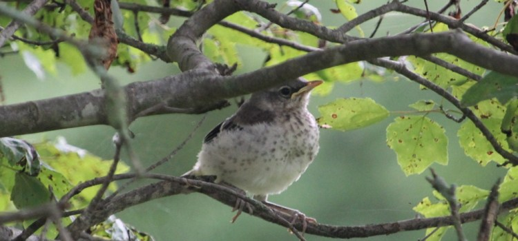 Rosie Crafts Great American Baby Mockingbird Photography
