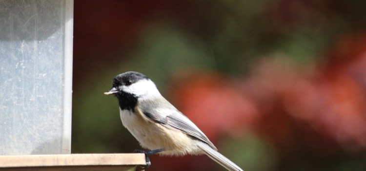 Rosie Crafts Chickadee Bird Eating at Feeder Photography