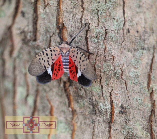 Rosie Crafts Spotted Lanternfly (Front) Photography