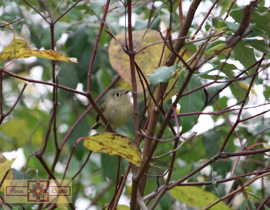 Rosie Crafts Ruby Crowned Kinglet Bird Photography