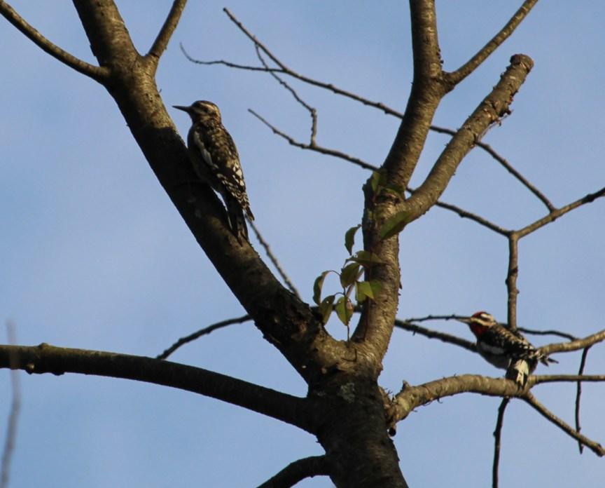 Rosie Crafts Northern Flicker Woodpecker Photography