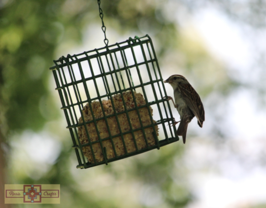 Rosie Crafts White Throated Sparrow Eating Suet Photography