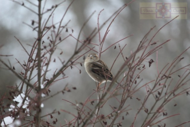 Rosie Crafts Female House Sparrow Bird Perched On Berry Bush Photography
