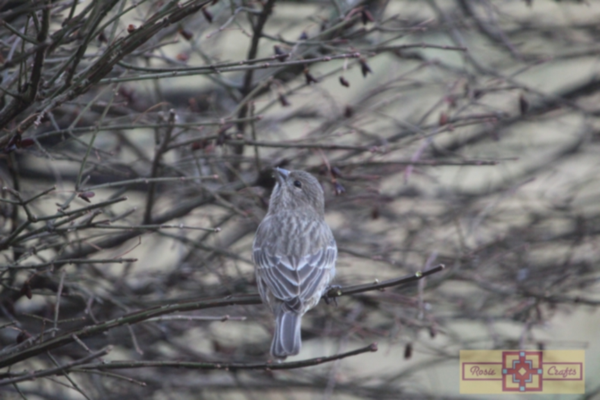 Rosie Crafts Female Gray House Finch Perched in Berry Bush Photography