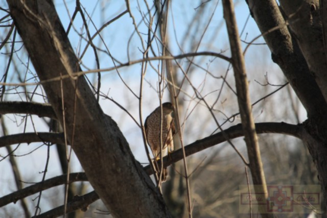 Rosie Crafts Sharp Shinned Hawk Perched On Branch Photography