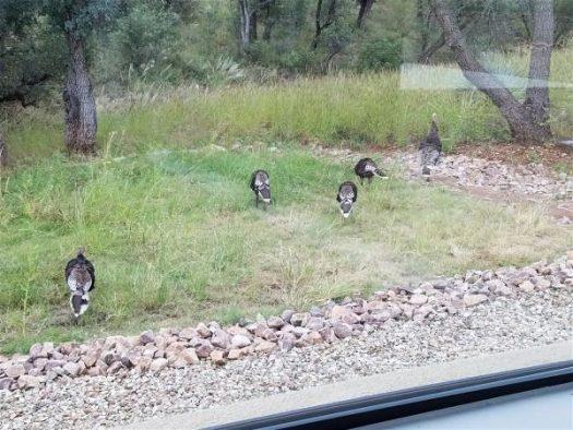 Wild Turkeys Departing