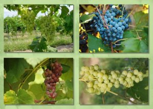 Doube A Vineyards grapes