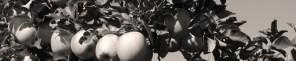 Rosslyn Redux (Apples 960x198 header)