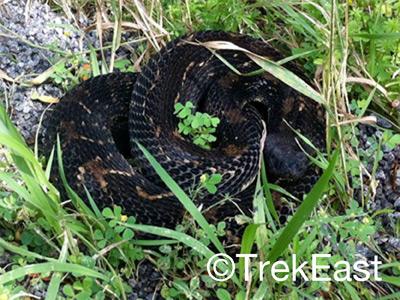 Timber Rattlesnake seen by John Davis