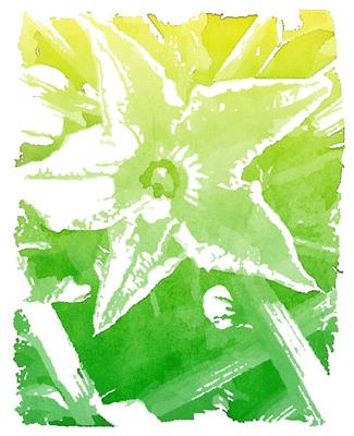 Zuchini Squash Blossom, Rosslyn Gardens