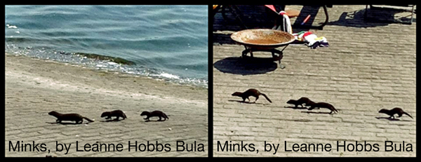 Minks, by Leanne Hobbs Bula