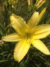 Pure Butter Day Lilly