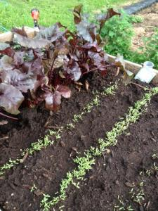 Swiss chard seedlings in a raised bed.