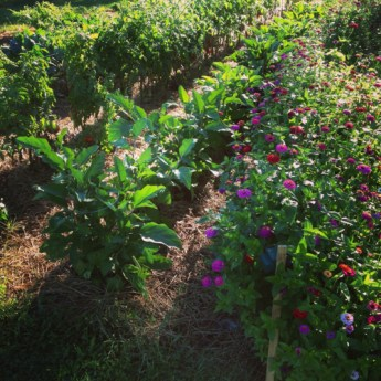 Almost orderly rows of zinnias, eggplants and tomatoes.