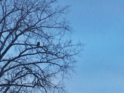 Bald eagle sitting in tree along Essex waterfront watching ducks.