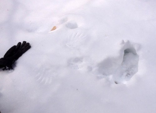 Decrypting Bird Tracks in Snow: Grouse Hole (Credit: Kim Rielly)