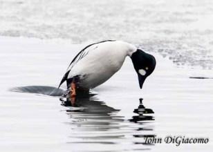 Goldeneye duck in Essex on Lake Champlain (Photo: John DiGiacomo)