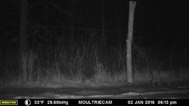 Bobcat photographed on Rosslyn trail cam January 2, 2016.