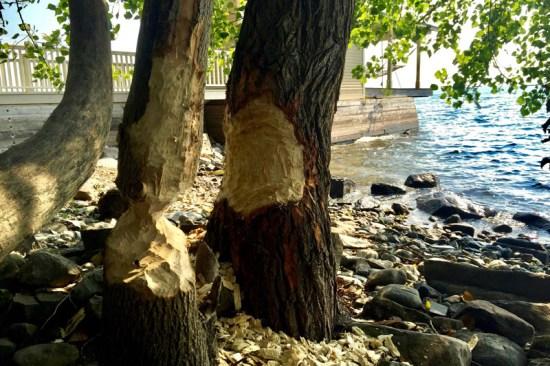 Beavers & Boathouses: Castor canadensis damage (Source: Geo Davis)