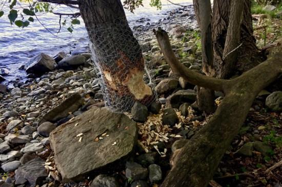 Beavers & Boathouses: Castor canadensis damage prevention (Source: Geo Davis)